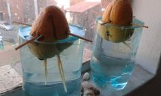 Avocado seed germination in JHB