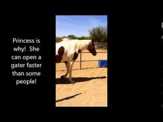Many who come to Fire Horse Ranch wonder why all the horse gates have chains on them. Princess is why! She can open gates faster than many people, and has even been known to undo the chains. And, she's not just content to open her own gate, she'll also visit stalls and pens with other horses and open them as well. I know some of you have seen her in action! She's good and she's fast. Here's Princess in action!