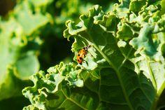 Ladybug on Kale