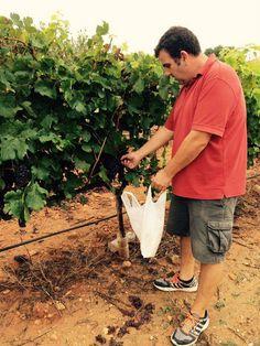 Época crucial para Bodega Les Useres La firma está realizando muestreos para evaluar la maduración de la uva