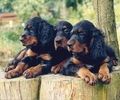 Gordon Setter Puppies this is what my Mooshaun is a mix of! Bearded collie and Gordon setter. :)