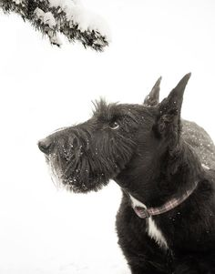 Black Scottish Terrier With Snowy Branch by CattieCoyleDesigns