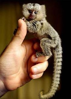 Adult full-sized pygmy marmoset