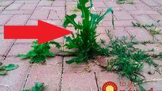 Nápad za milión, ak sa neviete zbaviť buriny na dlažbe: Mne nepomohol ocot ani sóda, ale odkedy som skúsili toto, po burine ani stopy! Weed Killer, Nordic Interior, Gladiolus, Garden Plants, Diy And Crafts, Pergola, Recycling, Sidewalk, Gardening