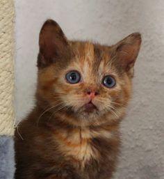 Britisch Kurzhaar (BKH) Kitten und Britisch Langhaar Katzenbabys: Britisch Kurzhaar Mädchen in chocolate tortie abzugeben