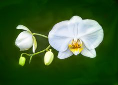 Photo Beauty of White Orchid by Lou Lu on 500px