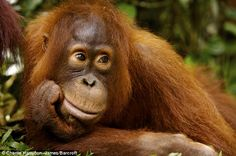 Solemn: Thomas lies next to his mother Tut who has a new baby Tiido. The young orangutan is not getting his mother's ateention and finds it difficult
