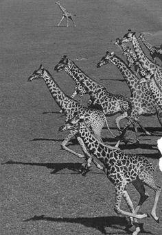 Giraffes. S)