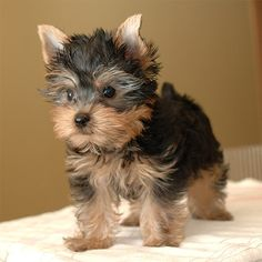 I want another yorkie! i miss bailey :(