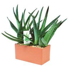 Aloe Vera Plant Kit
