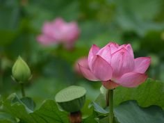 Lotus 2016昭和記念公園