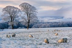 The countryside in Winter. Christmas Carol, Christmas Time, Winter Magic, Winter's Tale, The Great Escape, Country Life, Sheep, Fairy Tales, Scenery