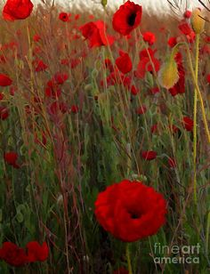 ✯ The Morning Of The Red Poppies