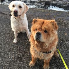 Moos with her dear friend Saar! #chowchow #labrador #dogs_of_world_ #lacyandpaws #instachow #instalabs #cutepets #cuteanimals #cutepetclub #animalsaddict #adorimals #fluffy #wetdog #sea by chow_chow_moos