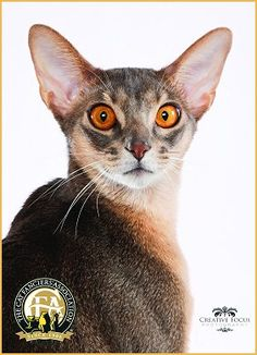 Abyssinian Photos, Grands 2012-13
