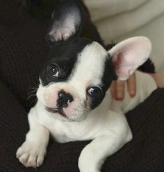 French Bulldog Puppy ❤️ I want a French bulldog/ Boston Terrier mix next. I've had both & they have different wonderful things.