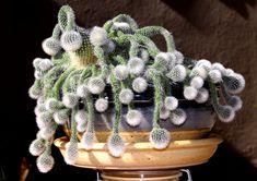 hedgehog cactus ile ilgili görsel sonucu