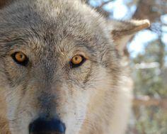Pretty She Wolf.