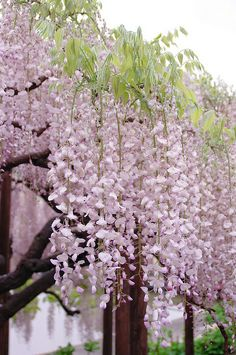 Wisteria - Ashikaga Flower Park, Tochigi, Japan