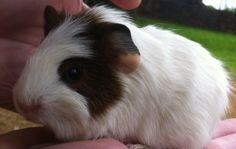 Dot the Baby Guinea Pig