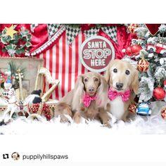 Christmas Dachshund, Labrador Retriever, Santa, Dogs, Animals, Labrador Retrievers, Animales, Animaux, Doggies