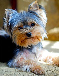 Os cachorros da raça Yorkshire Terrier são pequenos mas muito cheios de energia. Saiba tudo sobre o Yorkshire Terrier!