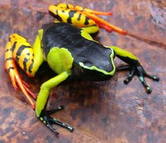 Mantella: This poisonous frog from Madagascar, Mantella baroni, acquires its toxins through its diet. One of the primary contributors is a poisonous ant that is endemic to Madagascar