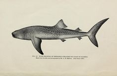 The Whale Shark, Rhincodon typus  From: 'Natural history of the whale shark (Rhineodon typhus Smith)' by Eugene Willis Gudger