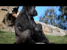 (1) Mamá gorila cuidando de su bebé (bosque ecuatorial de Bioparc Valencia) - YouTube Silverback Gorilla, Overcome The World, Cute Baby Animals, Valencia, Cute Babies, Monkey, Youtube, Animals, Baby Bouncer