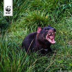 Klein, gemein und süß. Tasmanische Teufel sind zugleich faszinierend und abstoßend: Die australischen Beuteltiere sind sehr aggressiv, strömen bei Erregung einen fauligen Geruch aus, ihre Ohren färben sich knallrot und sie kreischen laut und aufdringlich.