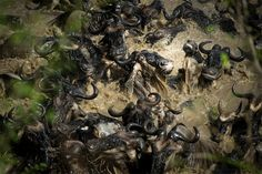 Finalists Of The 2014 Wildlife Photographer Of The Year Competition Will Leave You Wanting More: Dante's Inferno by Karen Lunney leaves my wildebeest migration pictures in the dust. Photography Contests, Wildlife Photography, Natural World, Natural History, Smithsonian Photo Contest, National Geographic Photo Contest, Concours Photo, Colossal Art, Belle Photo