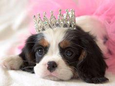 Cavalier King Charles Spaniel puppy - ballerina princes