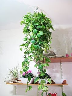 pothos (or philodendron) - no flowers, but indestructible