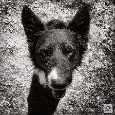 Happy Dogs Year (Bonne année à tous les chiens) #lunarnewyear #yearofthedog #portrait 2016 #gaelic69