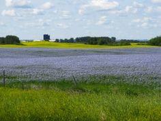Fields of flax, Saskatchewan  20090805_0001