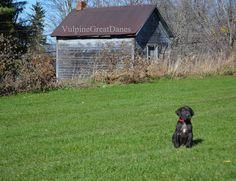 Black Great Dane Puppy Black Great Dane Puppy, Black Great Danes, Dane Puppies, Dogs, House Styles, Animals, Animales, Animaux, Doggies