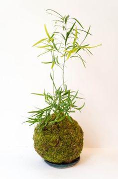 Kokedama - Asparagus Falcatus - M -