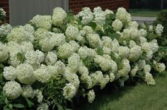Annabelle Hydrangea are covered with massive white blooms in late summer. An easy to grow shrub that prefers a shady location.