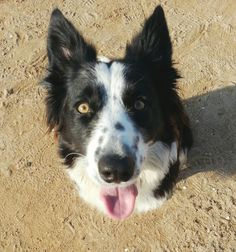 Border Collie Lua