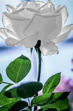 white rose ...my first favourite