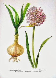Shannon Kay: Growing Onions and Garlic in the South ~ Part Two Garlic