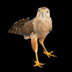 photo by @joelsartore | A critically endangered Ridgeway's hawk from my trip to the #Dominican Republic. Please #follow me at @joelsartore for my photos. #photoark #joelsartore #photooftheday #beautiful by natgeo
