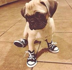 Crush On Pugs (@CrushOnPugs)   توییتر