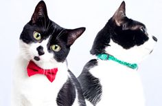 I want a cat with a bowtie collar...
