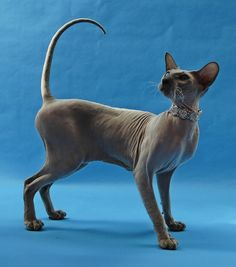 Peterbald cat, they have a naturally high body temperature 105!! Which makes them have abnormally accelerated healing time.