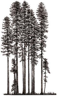 redwood tree drawing - Google Search