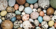 Birds lay eggs, although there are other egg-laying animals, including two mammals: the duckbill platypus and the echidna. These two creatures are natives of Australia. Scientists call these. Frans Lanting, Most Beautiful Birds, Beautiful Things, Beautiful Pictures, Dinosaur Eggs, Kinds Of Birds, Chicken Eggs, Vertebrates, Egg Shape