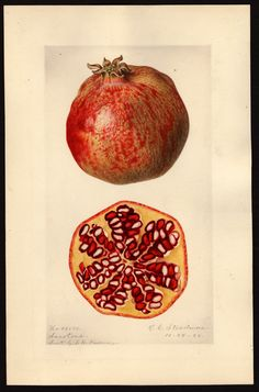 Royal Charles Steadman, melograno, 1920,  (fonte: U.S. Department of Agriculture Pomological Watercolor Collection. Rare and Special Collections, National Agricultural Library, Beltsville, MD 20705)