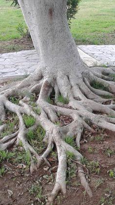Mersin Atatürk parkı kaucuk ağacı