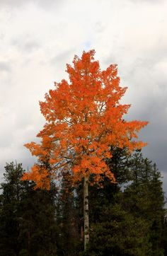 Jasper, Alberta, Canada- Autumn in fire -The color of the leaves of this tree are unreal, every time the wind blows it seems that the tree is on fire - by Emanuele Del Bufalo